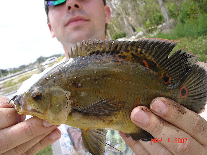 Fish species in florida freshwater best fish 2017 for Florida freshwater fish species