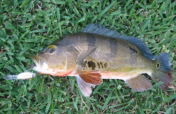 Exotic fish of florida for Pond fish species