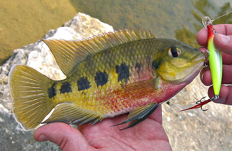 Image gallery spotted tilapia for Fish native to florida